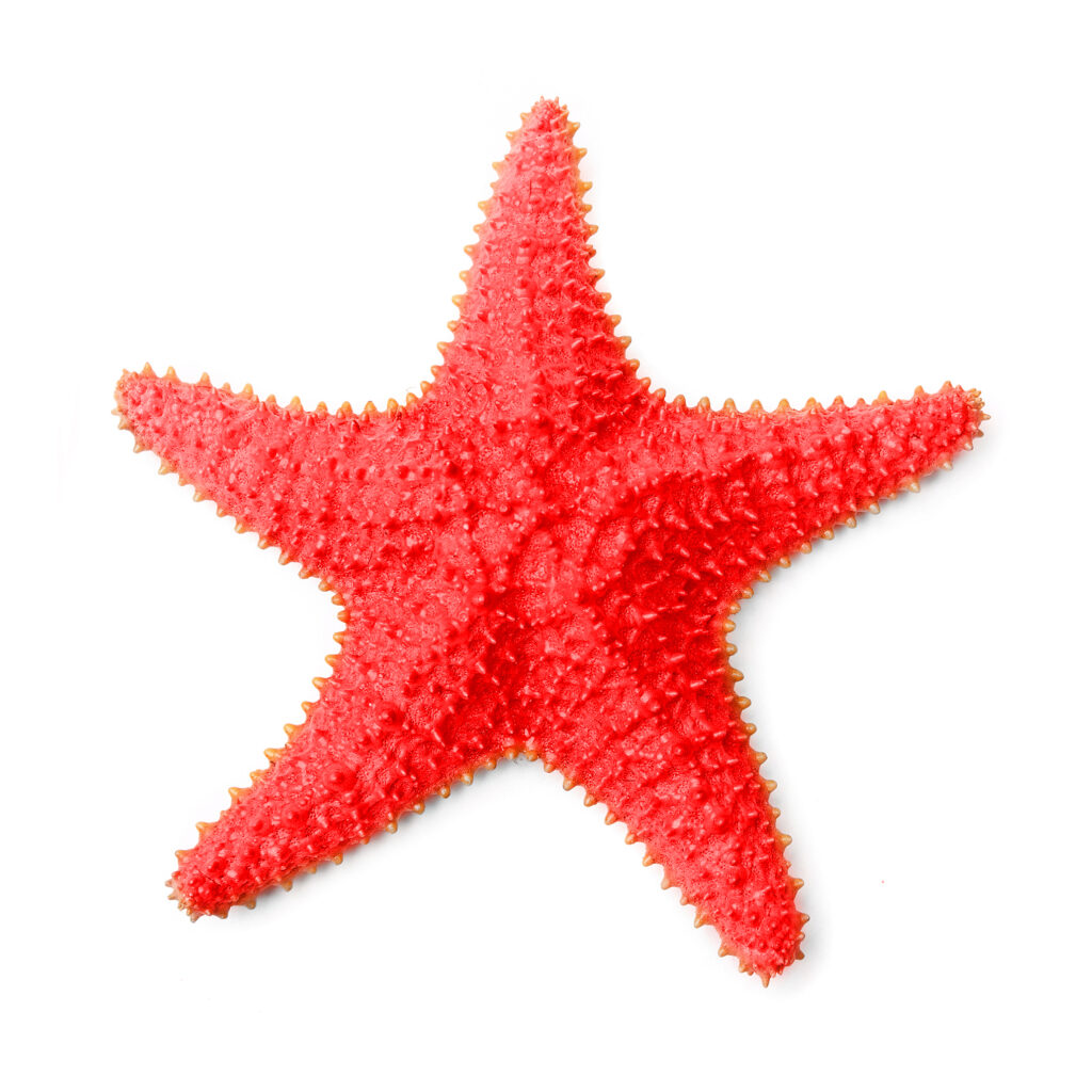 The Common Caribbean Starfish Oreaster reticulatus on a white background.